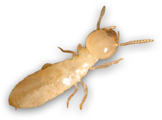 termite inspection services by ambassador pest control in phoenix