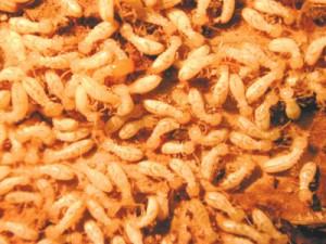 ambassador pest control termite treatment cost services