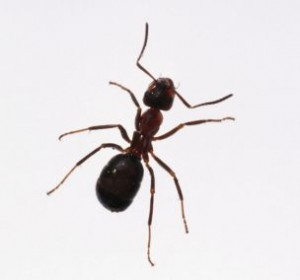 ant removal services by ambassador pest control in phoenix arizona