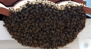 Bee Removal Phoenix