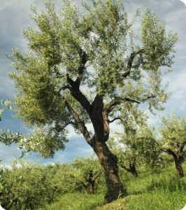 Olive tree spraying services are provided by Ambassador Pest Control from January to April to stunt the growth of flowers and olives.