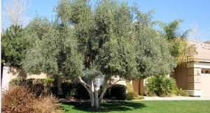 Olive Tree Spraying
