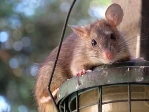 Rat | Ambassador Pest Control
